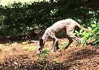 """Usa, strana creatura avvistata su un campo da golf: """"E' un Chupacabra"""""""