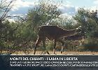 Chianti, i lama dell'ex Parco Zoo di Cavriglia vivono in libertà