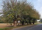 FOTO  Gli alberi monumentali passano da 300 a dieci