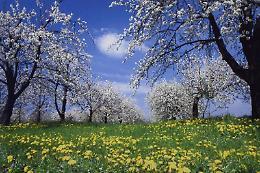 Festa dei ciliegi in fiore
