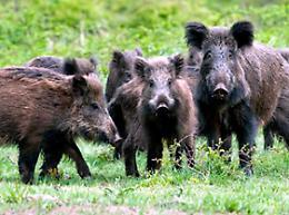Rolfi: 'Lockdown della caccia? Serve abbattere i cinghiali'