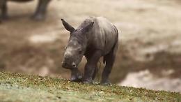 San Diego, giochi e tenerezze: il debutto del baby rinoceronte