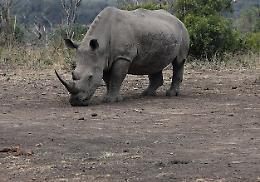 Fecondazione in vitro, il salvataggio del rinoceronte bianco passa da Cremona