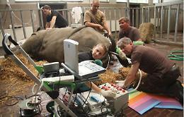 I primi rinoceronti in provetta