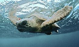 Zoologia, una caretta nel Po. Il mistero della tartaruga marina