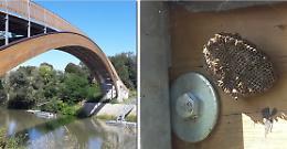 Invasione di vespe, nidi alla passerella sull'Oglio