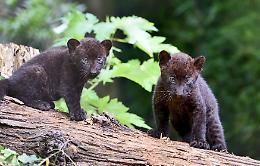 Fiocco rosa al Parco Le Cornelle: nati due cuccioli di pantera nera