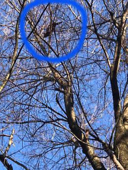 Gatto su  un pioppo di trenta metri: è Sos