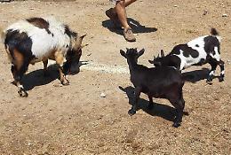 Furto, capre sparite a cascina Gallotta