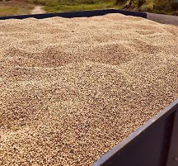 Fagiolini dall'Occhio da agricoltura locale, raccolto di oltre 30 quintali