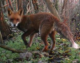 Quaranta volpi nel bosco della Pierina
