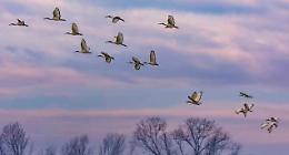 Ibis sacri osservati speciali: la crescita esponenziale è un'incognita