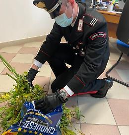 Cinque piante di marijuana abbandonate a bordo strada