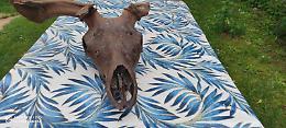 Un cranio di cervo gigante emerge dalle acque del Grande Fiume