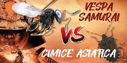 Un samurai contro la cimice asiatica: ecco la vespa che salva i raccolti