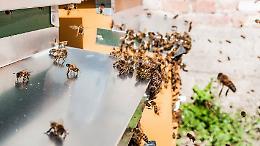 Zanzare, lotta biologia a misura d'ape: incontro a palazzo Pallavicino