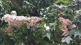 Attacco di bruchi 'mangia-foglie': alberi spogliati