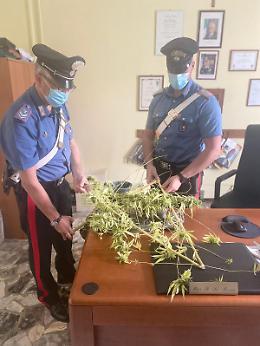 Pianta di marijuana di 3 metri nel giardino, denunciato 44enne