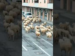 VIDEO Gregge di pecore invade il paese di primo mattino