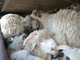 Eurocamera, aggiornare norme su trasporto ed export animali dall'Ue