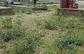 Degrado al cimitero, 'foresta' di erbacce fra le tombe