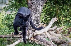 Avvistato grosso felino nero nei campi di Cizzolo