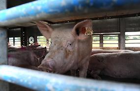 FOTO Camion di maiali si ribalta tra Madignano e Crema