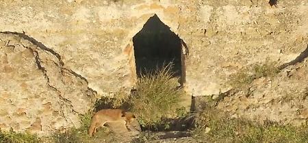 Roma, in volo sul Parco degli Acquedotti: sulle rovine c'è una volpe