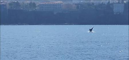 Salti e piroette: lo spettacolo dei delfini nelle acque di Sorrento
