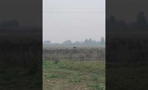 VIDEO Allarme cinghiali, un esemplare nelle campagne di Paderno