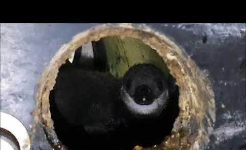 VIDEO Nuovo fiocco nella vasca dei pinguini