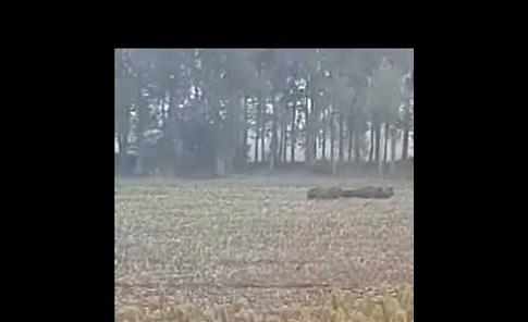 VIDEO Un branco di cinghiali sbarra la strada a un trattore