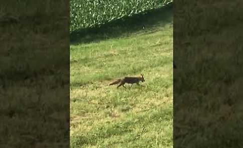 VIDEO  L'emozionante incontro con una volpe sull'argine tra San Daniele e Stagno Lombardo