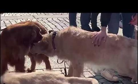 VIDEO I Golden Retriever a spasso per Cremona