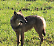 Avvistati lupi nei campi a caccia di caprioli