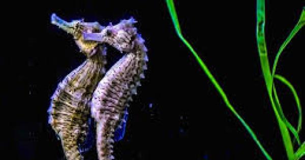 La danza nuziale e l 39 accoppiamento nel cavalluccio marino for Immagini cavalluccio marino